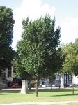 Ulmus Clusius (brighton victoria gardens) 070813