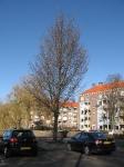 Ulmus Dodoens (amsterdam noordzijde) 090308