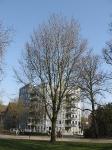 Ulmus Dodoens (groningen noorderplantsoen) 070327