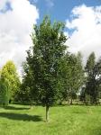 Ulmus Dodoens (hillier's arboretum ampfield) 070816