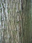 Ulmus Dodoens (westonbirt arboretum) 070817