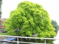 Ulmus glabra Lutescens (amsterdam vinkeleskade) 040606