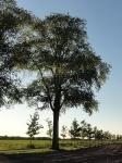 Ulmus hollandica Belgica & laevis (balloo loonerweg) 130927