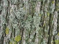 Ulmus hollandica Belgica (anna paulowna kneesweg) 100530