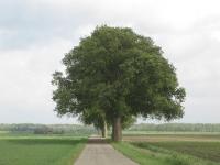 Ulmus hollandica Belgica (anna paulowna kruisweg) 100530