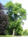Ulmus hollandica Belgica (boteringesingel groningen) 040523