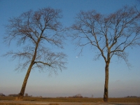 Ulmus hollandica Belgica (groningerland) 060312