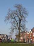 Ulmus hollandica Belgica iepziekte (groningen nieuwe ebbingestraat) 070327