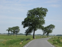Ulmus hollandica Belgica (kantens usquerderweg) 080605