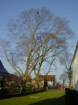 Ulmus hollandica Belgica (medemblik breedstraat) 020407