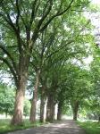 Ulmus hollandica Belgica (N247 hoorn) 070623