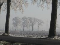 Ulmus hollandica Belgica (N983 saaksum den ham) 071222