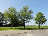 Ulmus hollandica Commelin (2x li) & Vegeta (re) (hallum griene dyk) 130709