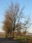 Ulmus hollandica Commelin (bierum holwierderweg) 021208