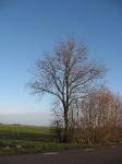 Ulmus hollandica Commelin (middelstum N996 delleweg) 100101