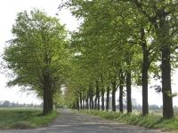 Ulmus hollandica Commelin (roodeschool klaas wiersumsweg) 080512