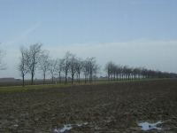 Ulmus hollandica Commelin (roodeschool klaas wiersumsweg) 980101