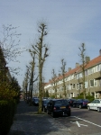 Ulmus hollandica Groeneveld (groningen wagnersingel) 010501