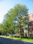 Ulmus hollandica Groeneveld (amstelveen burg. haspelslaan) 020916