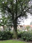 Ulmus hollandica Groeneveld (amsterdam voltaplein) 110722