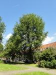 Ulmus hollandica Groeneveld (amsterdam voltaplein) 140531