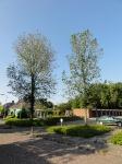 Ulmus hollandica Groeneveld (Burgum Botte Jaerlastraat Iephof) 130709