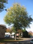 Ulmus hollandica Groeneveld (hilversum bonnikestraat) 071014