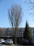 Ulmus Lobel (den haag veenendaalkade) 030323