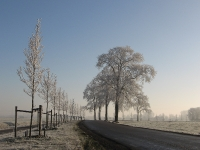 Ulmus New Horizon & hollandica Belgica (N983 aduard den ham) 071222