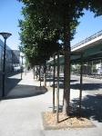 Ulmus New Horizon (Geneve Lancy Route des Jeunes 10) 100707d
