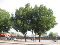 Ulmus Plantijn (amsterdam buiksloterweg) 100814