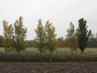 Ulmus Plantijn en 1x Lobel vlnr (kwekerij) 101028