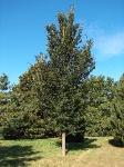 Ulmus Plantijn (hillier's arboretum ampfield) 050927