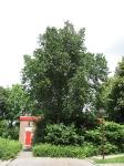Ulmus Plantijn (hoorn siriusstraat) 070623