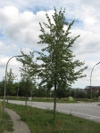 Ulmus Regal (hamburg walter rudolphiweg) 060831