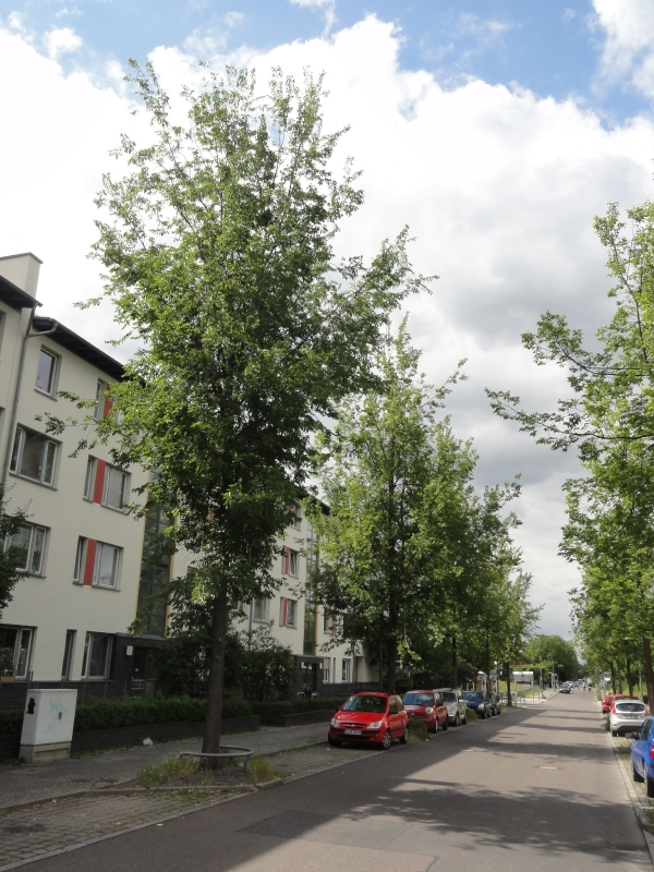 Ulmus Regal (Berlin Elfriede Kuhr Strasse) 120605