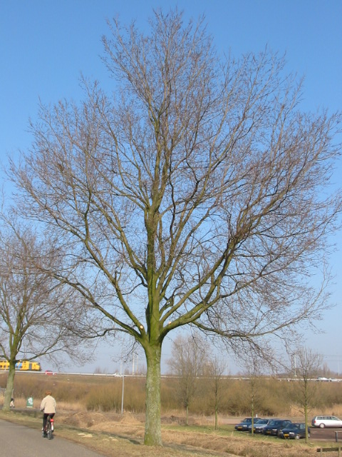 Ulmus hollandica Commelin (amsterdam amsteldijk o.z.) 030223a