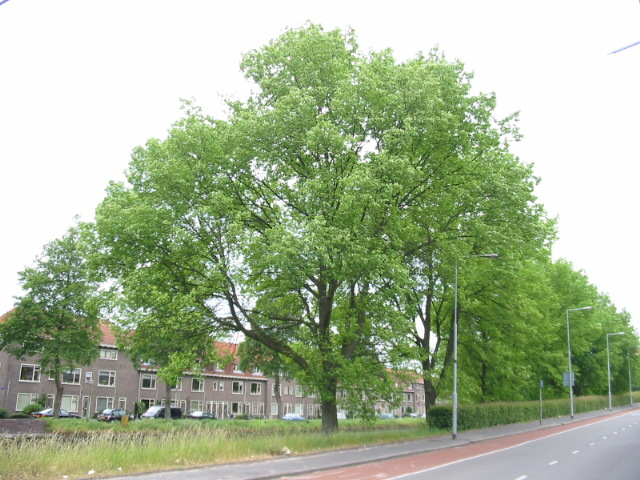 Ulmus hollandica Commelin (groningen brailleweg) 040530
