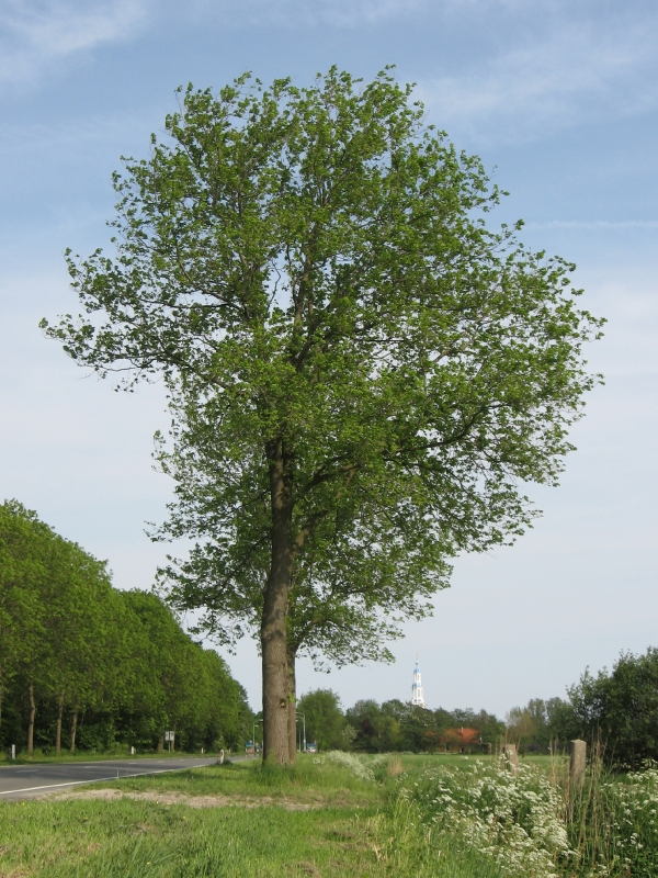 Ulmus hollandica Commelin (uithuizermeeden N363) 080512