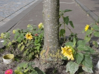 Ulmus Plantijn (amsterdam ijburg) 131002