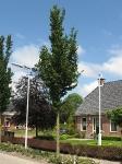 Ulmus Columella (burum kloosterweg) 060606