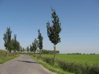 Ulmus Columella (oldehove niehoofsterweg) 060911