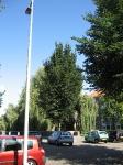 Ulmus Dodoens (amsterdam noordzijde) 080914
