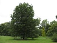 Ulmus Dodoens (london kew gardens) 070819