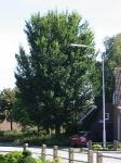 Ulmus Dodoens (uithuizen cohenstraat) 030914
