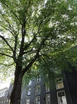 Ulmus hollandica Belgica (amsterdam nwe keizersgracht) 130707