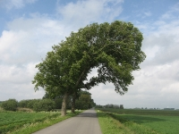 Ulmus hollandica Belgica (anna paulowna veerweg) 100530