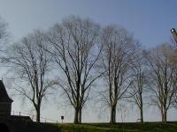 Ulmus hollandica Belgica (enkhuizen vestingwal) 020407
