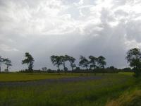 Ulmus hollandica Belgica (groningerland) 010713