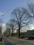 Ulmus hollandica Belgica (leeuwarden willem lodewijkstraat) 020219